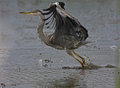 Heron bird taking flight Stock Image