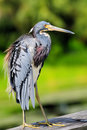 Heron Bird in Wetland Royalty Free Stock Photography