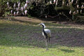 Heron black and white full length standing on green grass lawn background Stock Photography