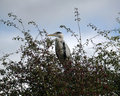 Heron in the bush Royalty Free Stock Photo