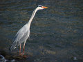 A heron on the chase is prowl for fishes Royalty Free Stock Image