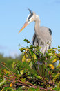 Heron Checking Its Nest Royalty Free Stock Images
