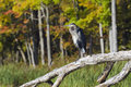 Heron in conservation area standing on a fallen tree the with autumn colors on the trees the background Stock Photos