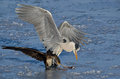 Heron and cormorant struggling to eat a fish val campotto italy Stock Image