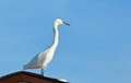 Heron egret bird overlooks beach an has fixed his gaze on the incoming waves Royalty Free Stock Images