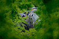 Heron family in the nest. Feeding scene during nesting time. Grey heron with young in the nest. Food in the nest with young herons Royalty Free Stock Photo
