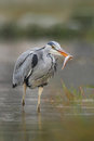 Heron with fish. Bird with catch. Bird in water. Grey Heron, Ardea cinerea, blurred grass in background. Heron in the forest lake. Royalty Free Stock Photo