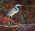 Heron in the foliage portrait of blue at sunset Stock Photography