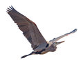 Heron great blue ardea herodias in flight with a clipping path Royalty Free Stock Photos