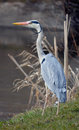 Heron grey also called ardea cinerea a hard bird to shoot barelly managed to take pictures of it Stock Photos
