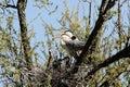Heron heronry bird tree fly nest Stock Photos