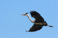 Heron heronry bird tree fly nest Royalty Free Stock Image