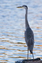 Heron looking for a fish ell acqua of a lake Stock Photography