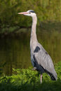 Heron near a creek details of large standing biological family ardeidae Stock Photos
