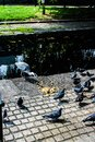 Grey Heron and pigeons feeding on bank of Royal Canal Dublin Royalty Free Stock Photo