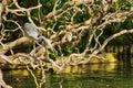 Heron poised to strike Royalty Free Stock Photo