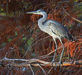 Heron portrait of blue in foliage at sunset Royalty Free Stock Image