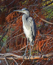 Heron portrait of blue perched in autumnal foliage Stock Photo