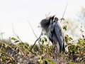Heron preening hiding head Royalty Free Stock Photo