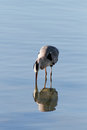 Heron reflection and its in the river douro porto portugal Stock Photography
