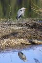 Heron's reflection in water. Stock Photos
