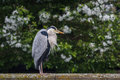 Heron sitting on the edge of canal in Muiden Royalty Free Stock Photo