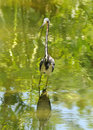 Heron in swamp Royalty Free Stock Image