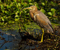 - heron tricolored Obraz Royalty Free