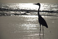 Heron on a tropical beach gangehi island maldives the herons are long legged freshwater and coastal birds in the family ardeidae Stock Photography