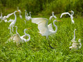 Herons Royalty Free Stock Photo