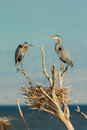 Herons At Nest Stock Photos