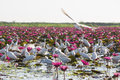Herons photo of many white with beautiful lotus at talay noi thailand Royalty Free Stock Image