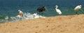 Herons on a sandy beach near the ocean kerala south india Royalty Free Stock Photos