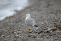 Herring gull on the beach Royalty Free Stock Photo
