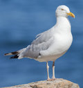 Herring gull close up of larus argentatus standing on a rock Royalty Free Stock Images