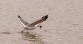 Herring Gull with crab Stock Photo