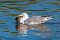 Herring gull eating a crab Stock Photo