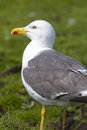 Herring gull gulll closeup standing on the grass Stock Photography