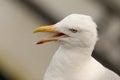 Herring gull larus argentatus portrait Royalty Free Stock Photography
