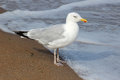 Herring gull larus argentatus on seashore single at edge of incoming tide showing clearly it s yellow bill with red spot Royalty Free Stock Photos