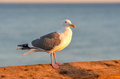 Herring gull standing on the pier at evening sun Stock Photography