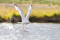 Herring gull takeoff on lake Stock Photos