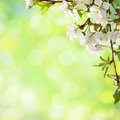 сherry blossom on green defocused background Stock Photography