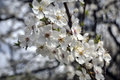 сherry plum blossom april sunny day spring season Royalty Free Stock Photography