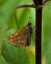 Hesperia comma  Silver-spotted skipper Royalty Free Stock Photo