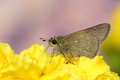 Hesperiidae butterfly a skiper on yellow flower Stock Photo