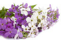 Hesperis matronalis flowers Royalty Free Stock Image