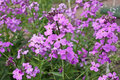 Hesperis matronalis flowers