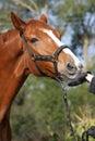 Hessian warmblood horse Royalty Free Stock Photography