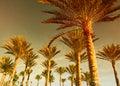 Het bos van de palm bij zonsondergang Royalty-vrije Stock Afbeeldingen
